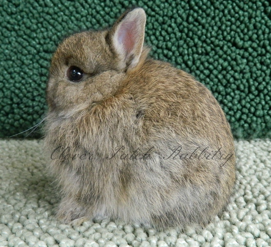 Colors Of The Netherland Dwarf